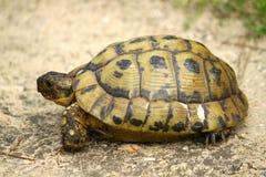 草龟 图库摄影