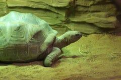 草龟 免版税图库摄影