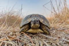 草龟Turtel爬行动物 库存照片