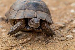 草龟Turtel爬行动物 图库摄影