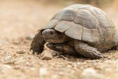 草龟Turtel爬行动物 免版税库存图片