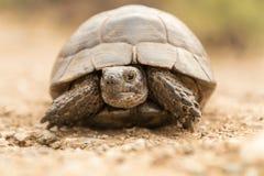 草龟Turtel爬行动物 免版税库存照片