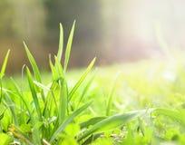 年轻绿草,唤醒的春天 库存图片