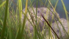 绿草,在海底上的海草丛林  影视素材