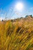 草,在蓝天,透镜的太阳的狂放的领域飘动,软的焦点 免版税图库摄影