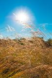 草,在蓝天,透镜的太阳的狂放的领域飘动,软的焦点 库存照片