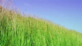 草,牧场地,草甸,风,天空,蓝色,摇摆,绿色,自然,秸杆,词根 股票视频