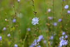 草,蓝色花抽象背景  大号,高分辨率,被弄脏的背景 免版税库存图片