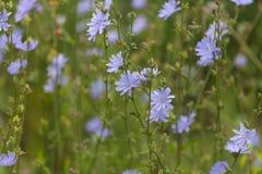 草,蓝色花抽象背景  大号,高分辨率,被弄脏的背景 免版税图库摄影