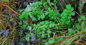 草 与露滴特写镜头的新鲜的绿色春天草 晒裂 软绵绵地集中 抽象背景本质 股票视频