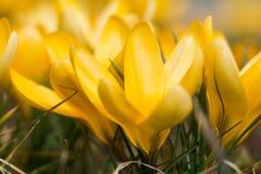 绿草围拢的蓝色色的风信花花的图片 免版税库存照片