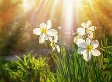 绿草水仙背景和花怒视和太阳关闭的光芒  水平的框架 免版税库存图片