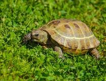 草绿色乌龟 免版税库存图片