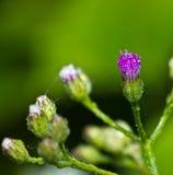 草紫色花  库存照片