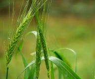 草绿色麦子 库存图片