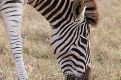 草- Burchell的斑马 免版税库存图片
