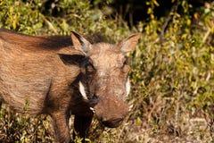 草Funn -非洲野猪属africanus共同的warthog 库存图片