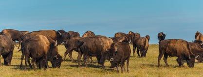 荒地北美野牛 免版税库存图片
