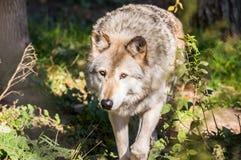 荒地达可它北部拍摄了北美灰狼 库存图片