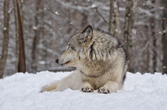 荒地达可它北部拍摄了北美灰狼 免版税库存照片