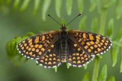 荒地贝母蝴蝶, Melitaea athalia 库存照片