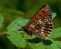 荒地贝母蝴蝶, Melitaea athalia 免版税库存图片