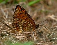 荒地贝母蝴蝶, Melitaea athalia 免版税库存照片