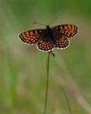 荒地贝母蝴蝶, Melitaea athalia 库存图片
