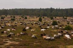 荒野在luneburg石南花的绵羊牧群 库存图片
