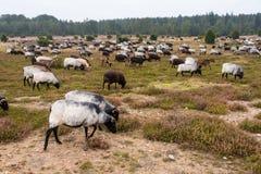 荒野在luneburg石南花的绵羊牧群 免版税图库摄影