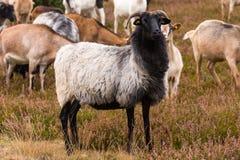 荒野在luneburg石南花的绵羊牧群 免版税库存照片