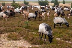 荒野在luneburg石南花的绵羊牧群 免版税库存图片