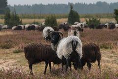 荒野在luneburg石南花的绵羊牧群 图库摄影