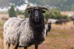 荒野绵羊的头 图库摄影