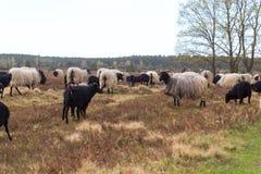 荒野绵羊Heidschnucke群与幼小羊羔的在翁德洛和Wilsede,德国附近的Luneburg荒地 免版税库存图片