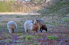 荒野绵羊在荒地的秋天 免版税库存照片