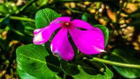 荔枝螺一朵桃红色花  库存照片