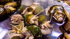 荔枝螺,沼泽蜗牛,河蜗牛,池塘蜗牛 免版税库存图片