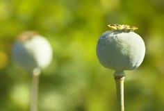 荚罂粟种子 库存照片