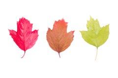 荚莲属的植物三片叶子在白色背景的 免版税图库摄影