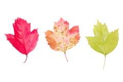 荚莲属的植物三片叶子在白色背景的 免版税库存图片