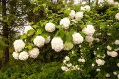 荚莲属的植物不育的Opulis 库存图片