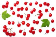 荚莲属的植物与在白色背景顶视图隔绝的绿色叶子的箭木红色莓果  免版税库存图片