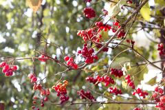 荚莲属的植物分支在晚秋天 免版税图库摄影