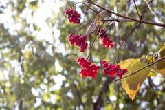 荚莲属的植物分支在晚秋天 库存照片