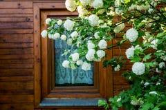 荚莲属的植物在庭院里 免版税库存照片