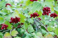 荚莲属的植物成熟红色莓果在分支的 免版税库存照片