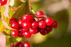 荚莲属的植物成熟莓果  免版税图库摄影