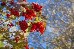 荚莲属的植物浆果 库存照片