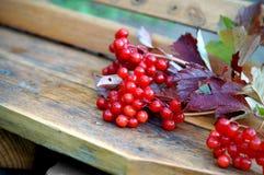 荚莲属的植物浆果 库存图片
